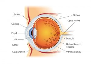 Anatomy of the eye. Edina Eye Physicians.